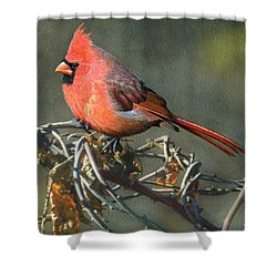 Male Cardinal Shower Curtain by Ken Everett