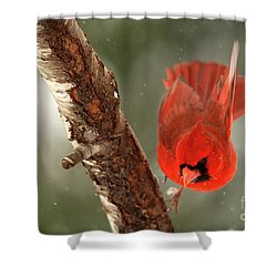 Shower Curtain featuring the photograph Male Cardinal Take Off by Darren Fisher