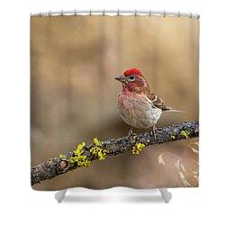 Male Cassins Finch Shower Curtain