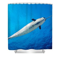 Male Narwhal Shower Curtain by Dave Fleetham - Printscapes