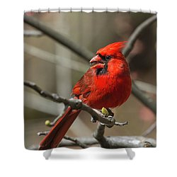 Male Northern Cardinal In Spring Shower Curtain
