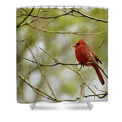 Male Northern Cardinal Shower Curtain by Michael Peychich