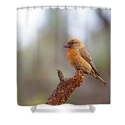 Male Red Crossbill Shower Curtain