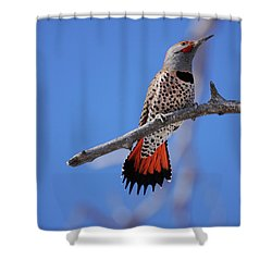 Male Red Shafted Northern Flicker Shower Curtain