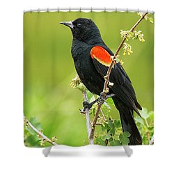 Shower Curtain featuring the photograph Male Red-winged Blackbird by Belinda Greb