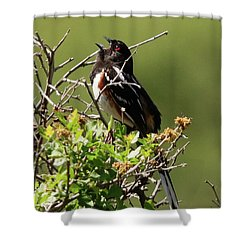 Male Spotted Towhee Shower Curtain