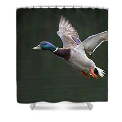 Mallard Drake In Flight Shower Curtain