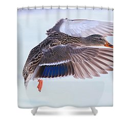 Mallard Flying In Winter Shower Curtain by Lynn Hopwood