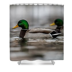 Mallard Shower Curtain by Paul Freidlund