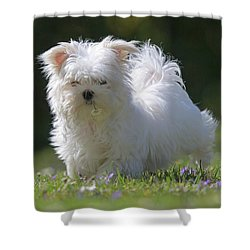 Maltese And Daisy Shower Curtain