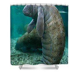 Manatee In Crystal River Florida Shower Curtain by Merton Allen