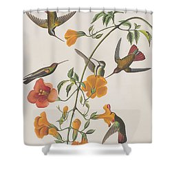 Mango Humming Bird Shower Curtain by John James Audubon