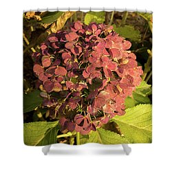 Mature Hydrangea Blossom Cluster Shower Curtain