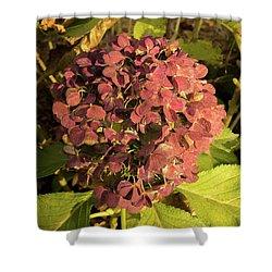 Mature Hydrangea Blossom Cluster Shower Curtain