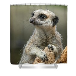 Meerkat Model Shower Curtain by Racheal  Christian