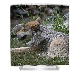 Mexican Wolf 20120714_112a Shower Curtain