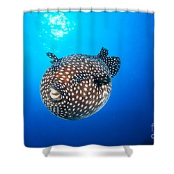 Mexico Guineafowl Puffer Shower Curtain by Dave Fleetham - Printscapes
