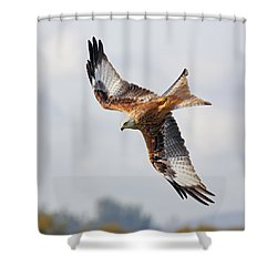 Shower Curtain featuring the photograph Milvus Milvus Diving by Grant Glendinning