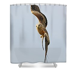 Shower Curtain featuring the photograph Milvus Milvus In Flight by Grant Glendinning