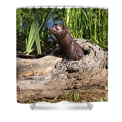 Shower Curtain featuring the photograph Mink Peeking Out by Myrna Bradshaw