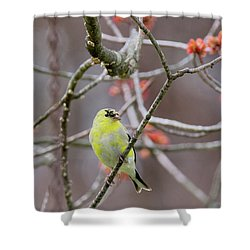 Shower Curtain featuring the photograph Molting Gold Finch by Bill Wakeley