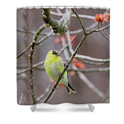 Shower Curtain featuring the photograph Molting Gold Finch Square by Bill Wakeley