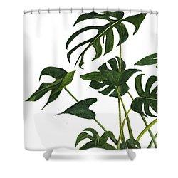 Monstera Bunch  Shower Curtain by Garima Srivastava