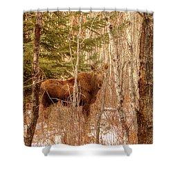 Moose Calf Shower Curtain by Jim Sauchyn