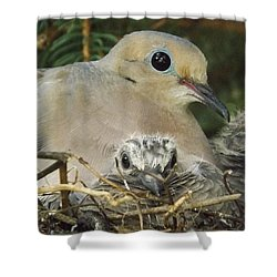 Morning Dove And Two Babys Shower Curtain