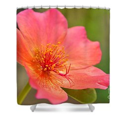 Shower Curtain featuring the photograph Moss Rose by Kelly Nowak
