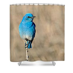 Mountain Bluebird On A Stem. Shower Curtain