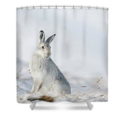 Mountain Hare Sitting In Snow Shower Curtain