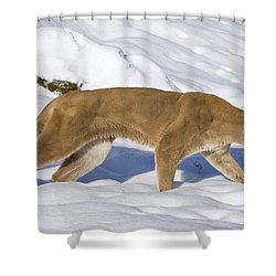 Mountain Lion Puma Concolor Hunting Shower Curtain by Matthias Breiter