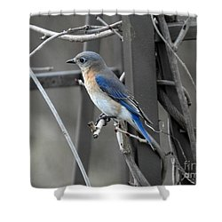 Shower Curtain featuring the photograph Mrs. Bluebird by Brenda Bostic