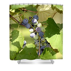 Muscadine Grapes Shower Curtain