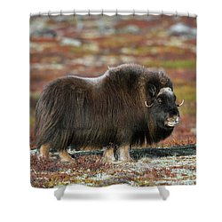 Muskox Shower Curtain