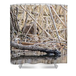 Shower Curtain featuring the photograph Muskrat Eating A Fish by Steven Santamour
