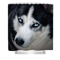 My #blue #eyes #siberian #husky Looking Shower Curtain by Richard Atkin