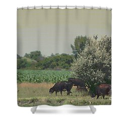 Nebraska Farm Life - Black Cows Grazing Shower Curtain