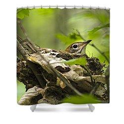 Nesting Birds - Wood Thrush Shower Curtain by Christina Rollo