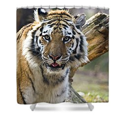 Nice Kitty Shower Curtain by Karol Livote