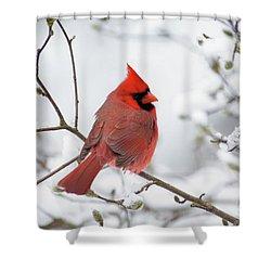 Northern Cardinal - D001540 Shower Curtain by Daniel Dempster