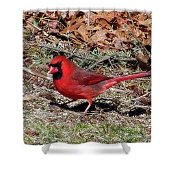 Northern Cardinal  Shower Curtain