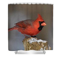 Shower Curtain featuring the photograph Northern Cardinal In Winter by Mircea Costina Photography