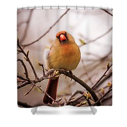 Northern Female Cardinal Pose Shower Curtain by Terry DeLuco