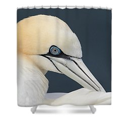 Northern Gannet At Troup Head - Scotland Shower Curtain