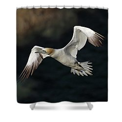 Shower Curtain featuring the photograph Northern Gannet In Flight by Grant Glendinning