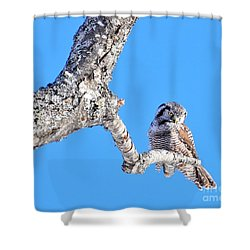 Shower Curtain featuring the photograph Northern Hawk Owl by Debbie Stahre