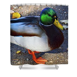 Northern Male Mallard Duck Shower Curtain