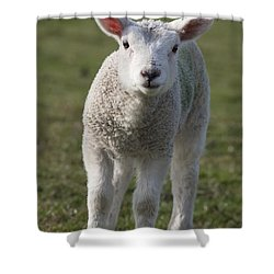 Northumberland, England A White Lamb Shower Curtain